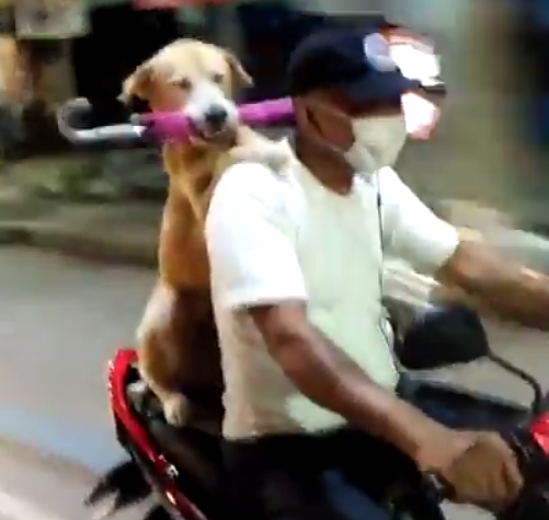 The dog carrying an umbrella in his mouth on the back of the motorcycle in Thailand
