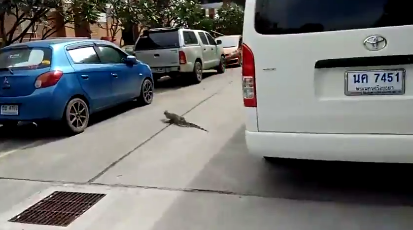The lizard runs out from the side into nearby bushes