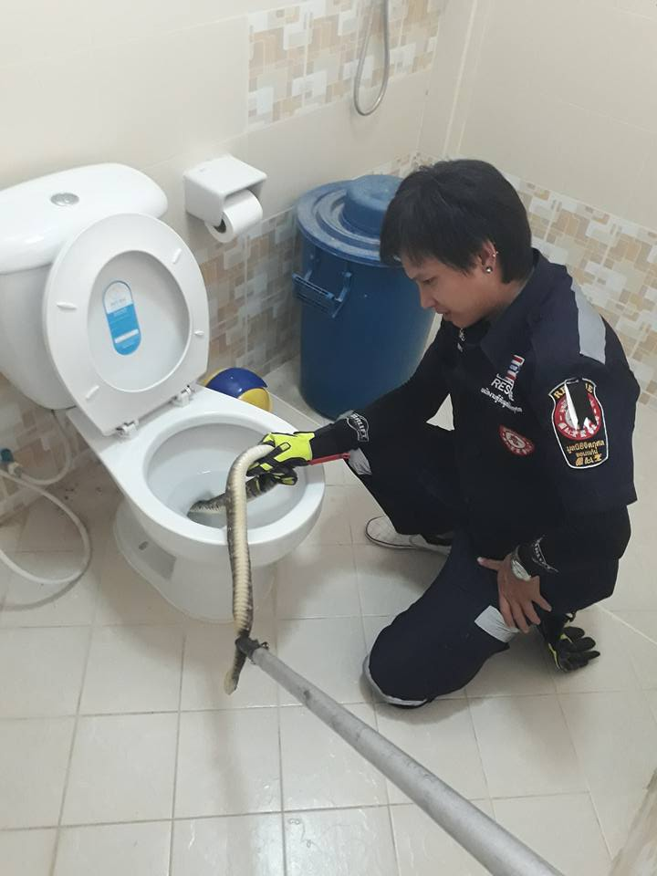 Rescue worker Anuchit Ketbuakhao pulls the 6ft long python out of the toilet