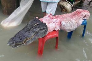 The crocodiles were shot then eaten