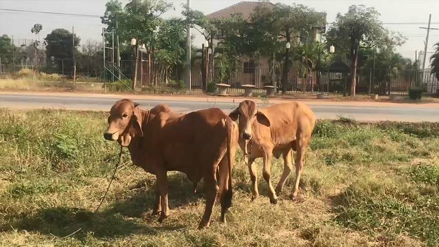 The brown cow was unhurt after the attack