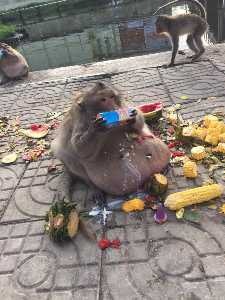 OBESE MONKEY GETS SENT TO FAT CAMP AFTER BEING FED JUNK BY TOURISTS