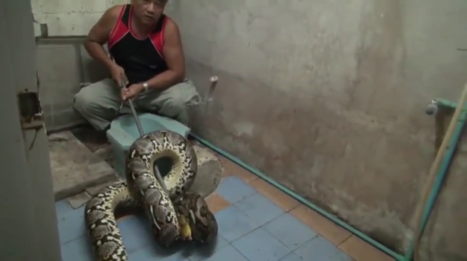 WOMAN FINDS ENORMOUS 20FT LONG PYTHON SLEEPING IN TOILET