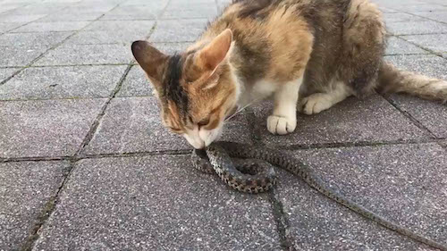 CAT EATING A SNAKE IN JAPAN