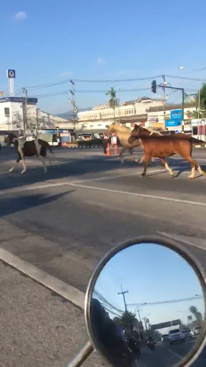 horses running down motorway in chiang mai